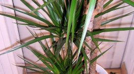 High Dracaena Wallpaper For IPhone 6 Download