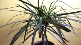 High Dracaena Wallpaper For PC