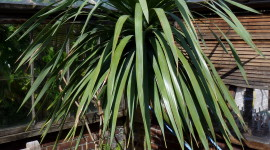 High Dracaena Wallpaper Free