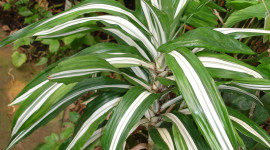 High Dracaena Wallpaper Gallery
