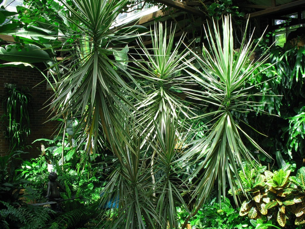 High Dracaena wallpapers HD