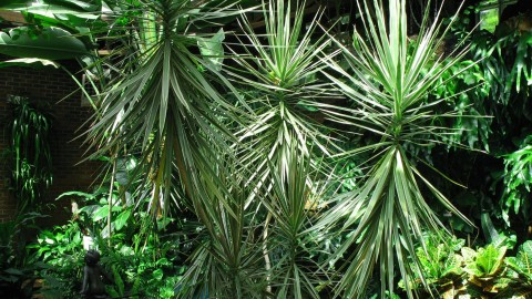 High Dracaena wallpapers high quality
