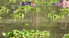 Hippo Swamp Photo Free