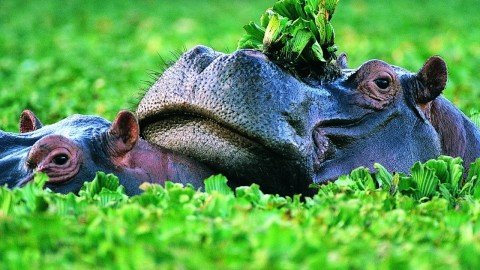 Hippo Swamp wallpapers high quality