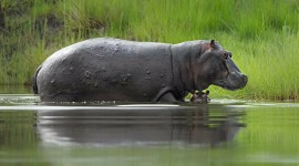 Hippo Swamp Wallpaper For Desktop