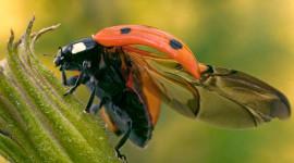 Ladybug Flight Desktop Wallpaper For PC