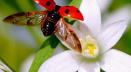 Ladybug Flight Desktop Wallpaper HD
