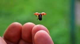 Ladybug Flight Photo Free