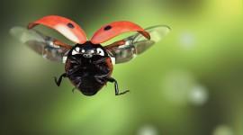 Ladybug Flight Wallpaper