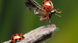 Ladybug Flight Wallpaper Download