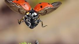 Ladybug Flight Wallpaper For Desktop