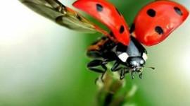 Ladybug Flight Wallpaper For Mobile