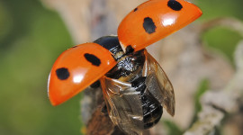Ladybug Flight Wallpaper For PC