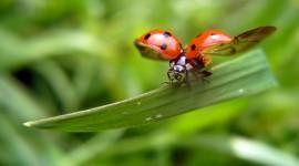 Ladybug Flight Wallpaper Free