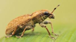 Macro Weevil Image