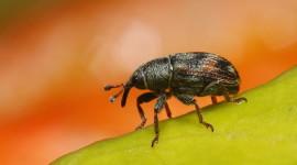 Macro Weevil Photo