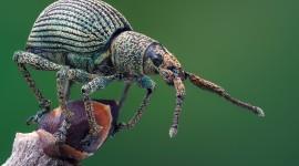 Macro Weevil Photo Free