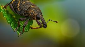 Macro Weevil Picture Download