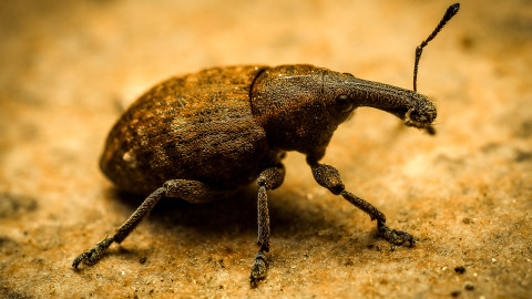 Macro Weevil wallpapers high quality
