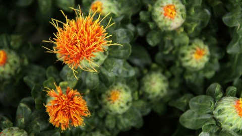 Safflower wallpapers high quality