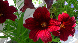 Salpiglossis Aircraft Picture