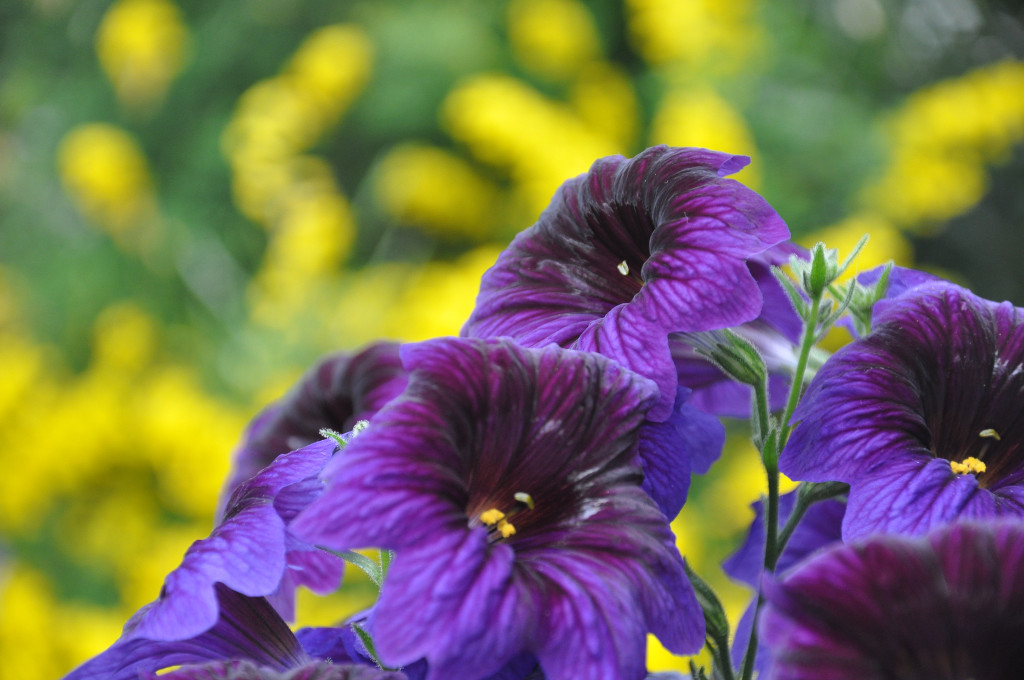 Salpiglossis wallpapers HD