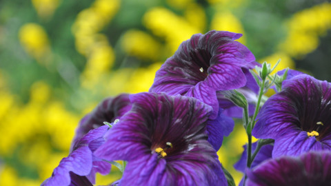 Salpiglossis wallpapers high quality