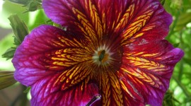 Salpiglossis Image Download
