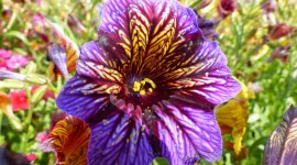 Salpiglossis Picture Download