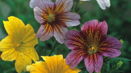 Salpiglossis Wallpaper For IPhone