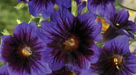 Salpiglossis Wallpaper For IPhone Free