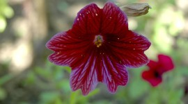 Salpiglossis Wallpaper For IPhone#1