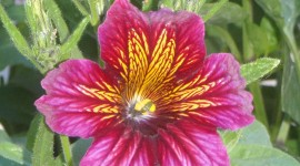 Salpiglossis Wallpaper For IPhone#2