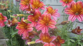Salpiglossis Wallpaper For PC