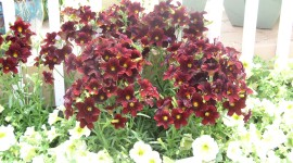 Salpiglossis Wallpaper Gallery