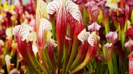 Sarracenia Wallpaper Download Free