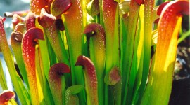 Sarracenia Wallpaper For IPhone