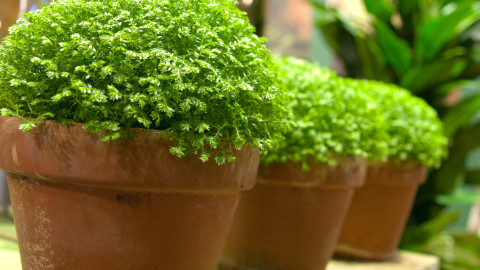 Selaginella wallpapers high quality