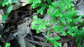 Selaginella Photo