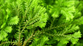 Selaginella Photo Download