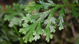 Selaginella Photo Free