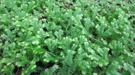 Selaginella Wallpaper Download