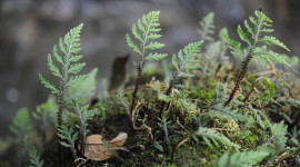 Selaginella Wallpaper Download Free