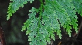 Selaginella Wallpaper For Android