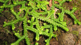 Selaginella Wallpaper For IPhone