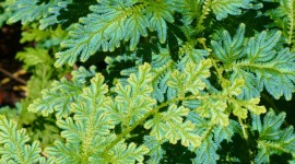 Selaginella Wallpaper Free