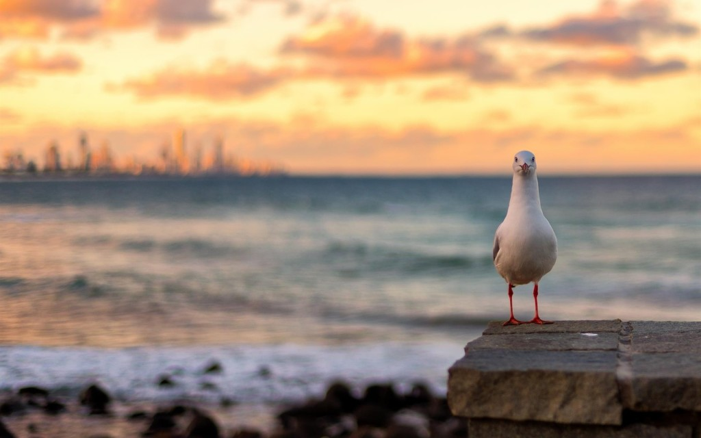 Sunset Seagull wallpapers HD