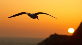 Sunset Seagull Photo Download