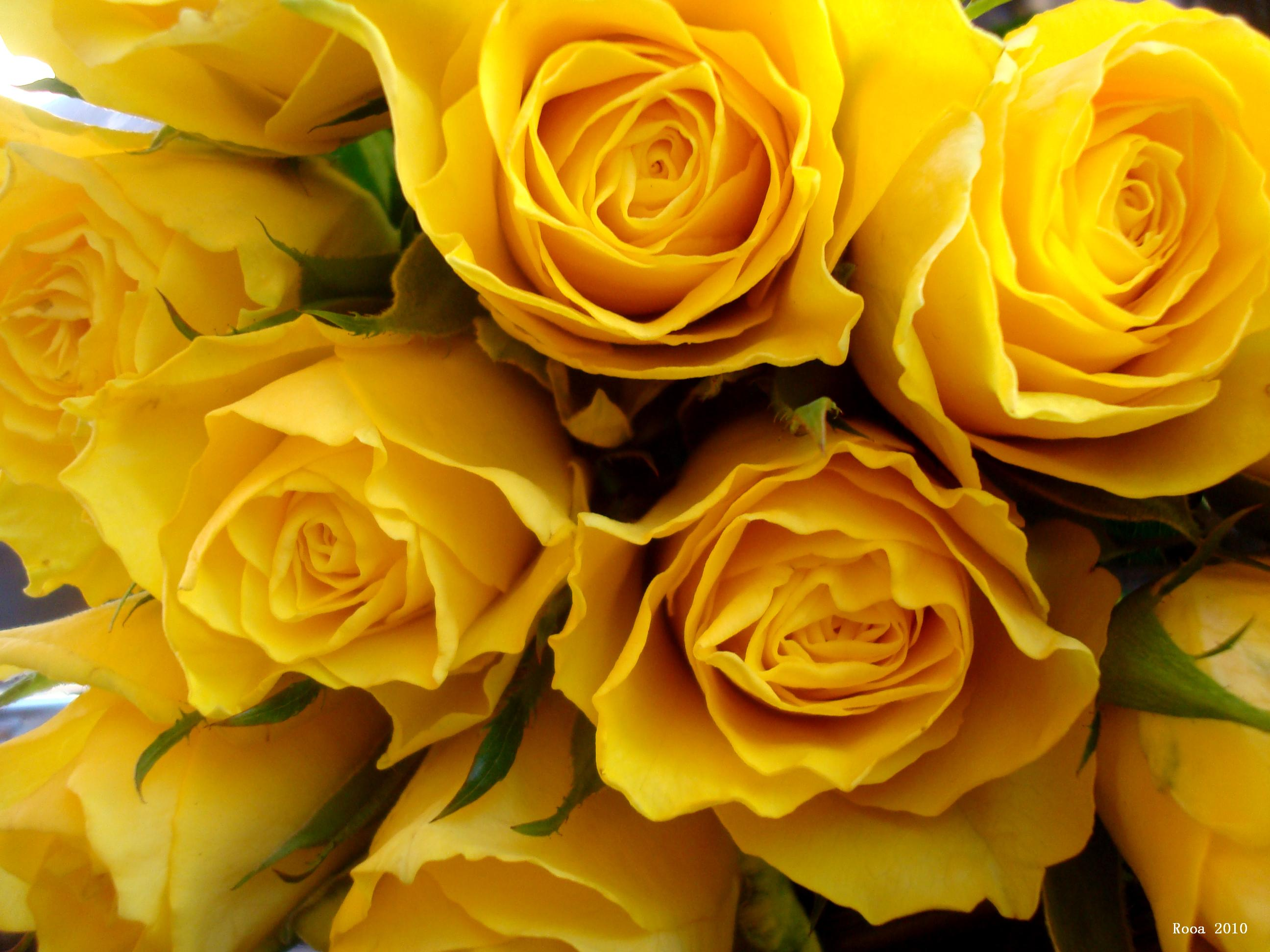 Hd wallpaper yellow flowers - Yellow Rose Wallpapers High Quality Free