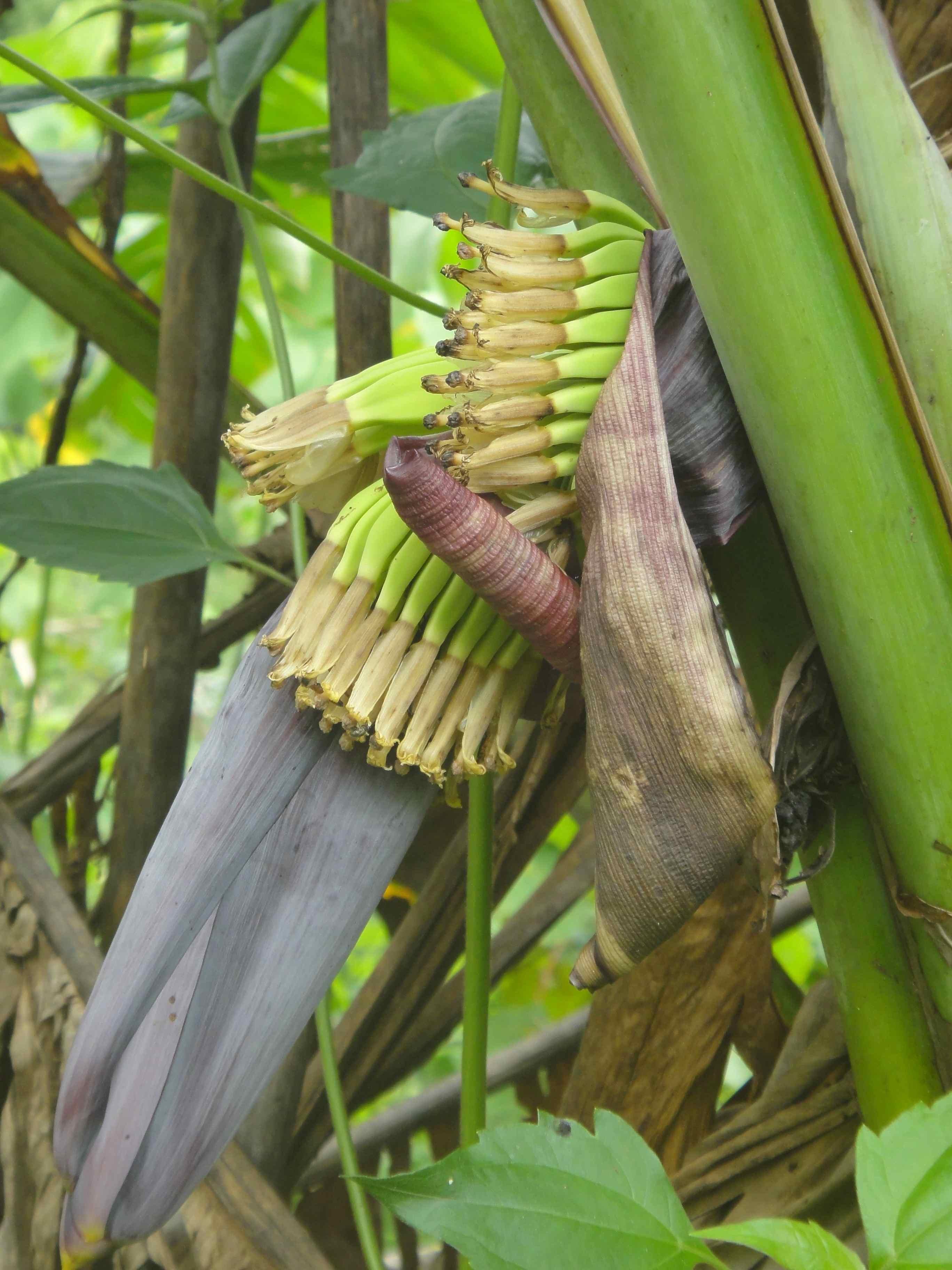 научно-практическая как выглядит настоящий банан фото экономии